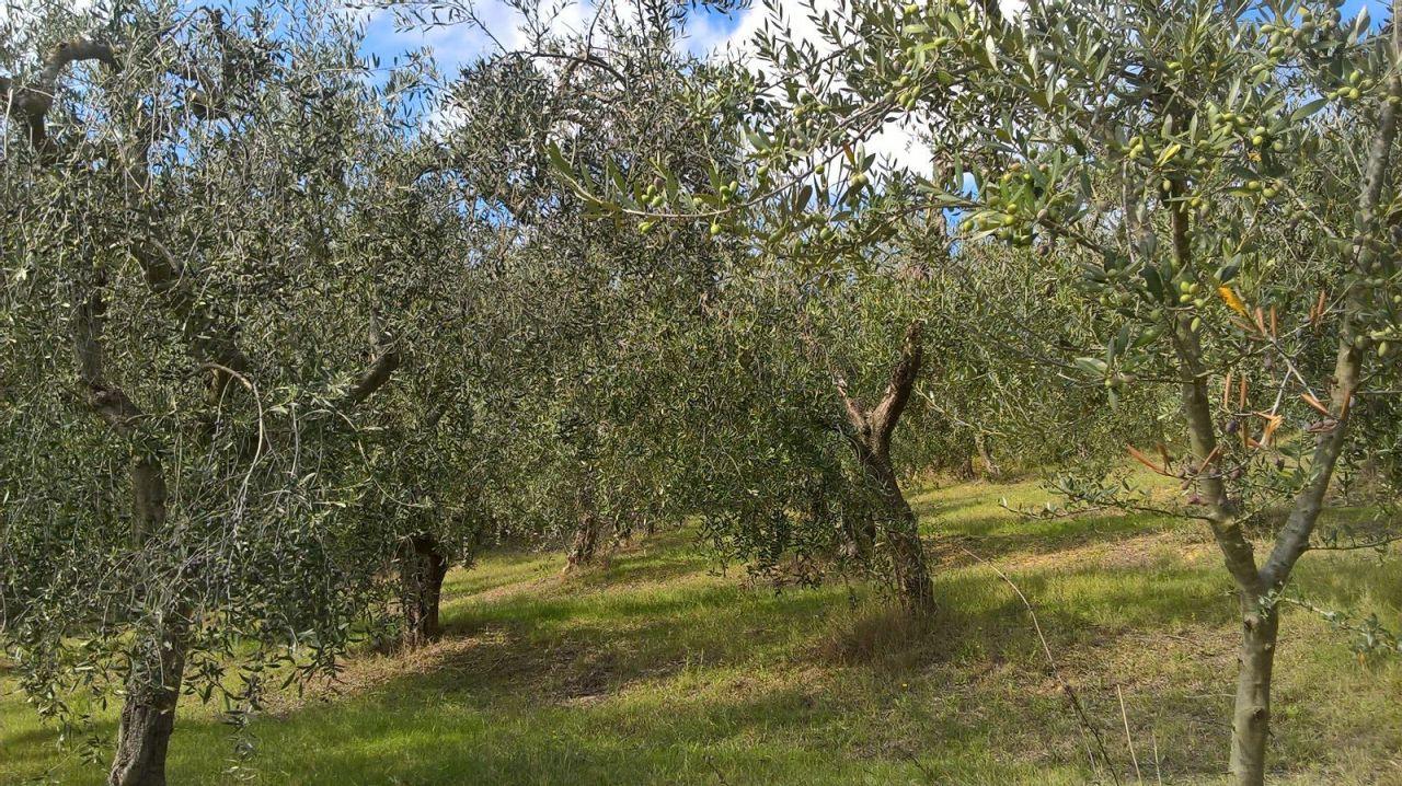 Agricolo - Uliveto a Lugnano in Teverina Rif.8255669