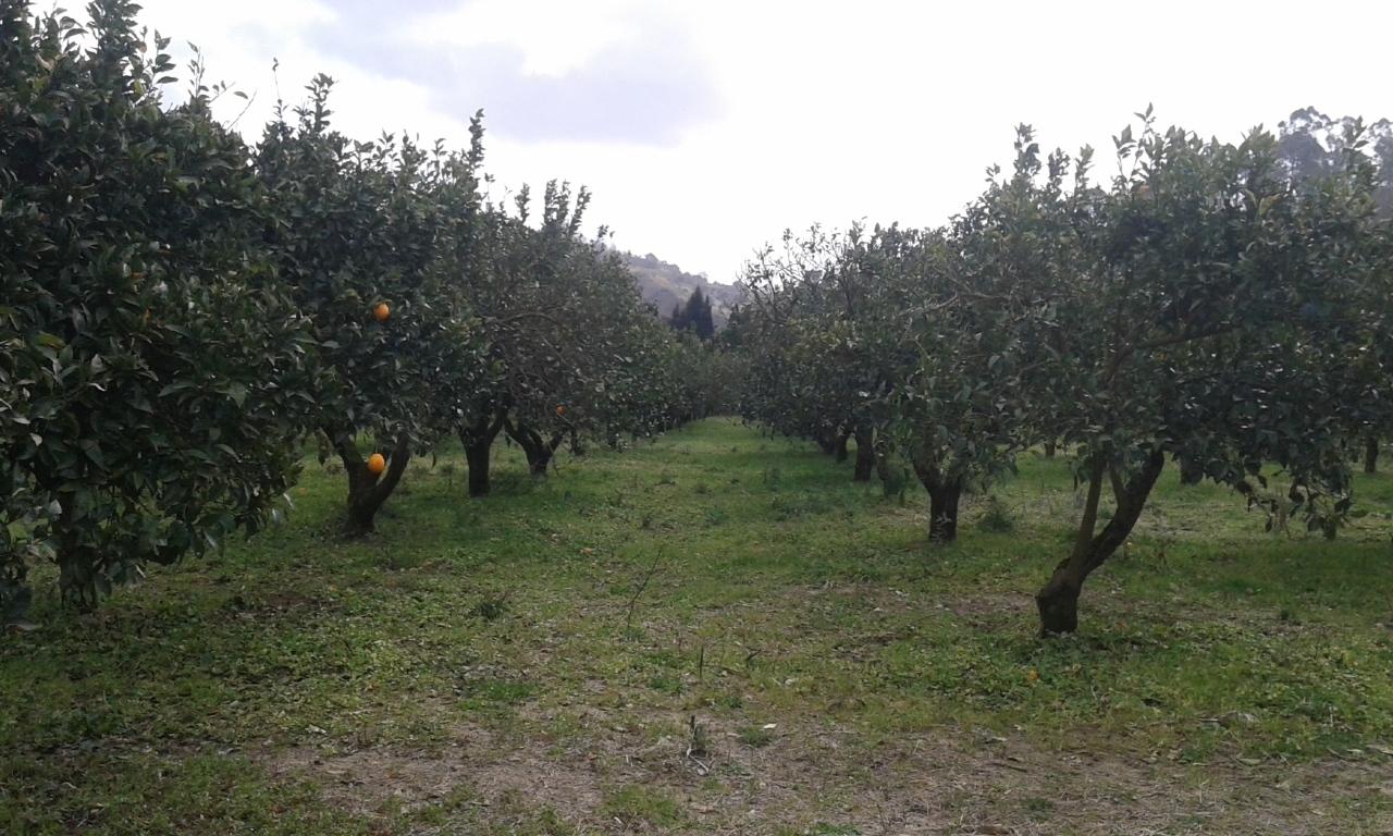 Agricolo - Frutteto a Pizzo Rif.4349415