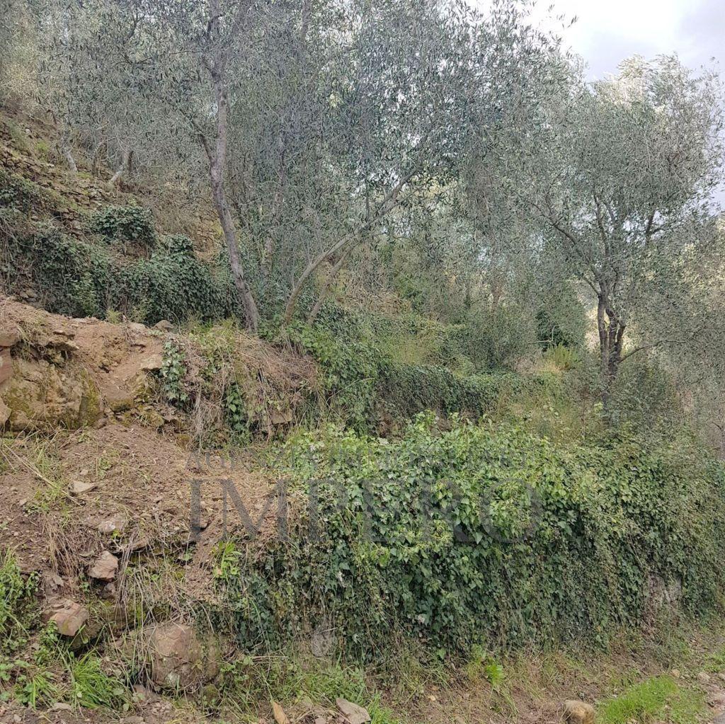 Agricolo - Uliveto a Dolceacqua