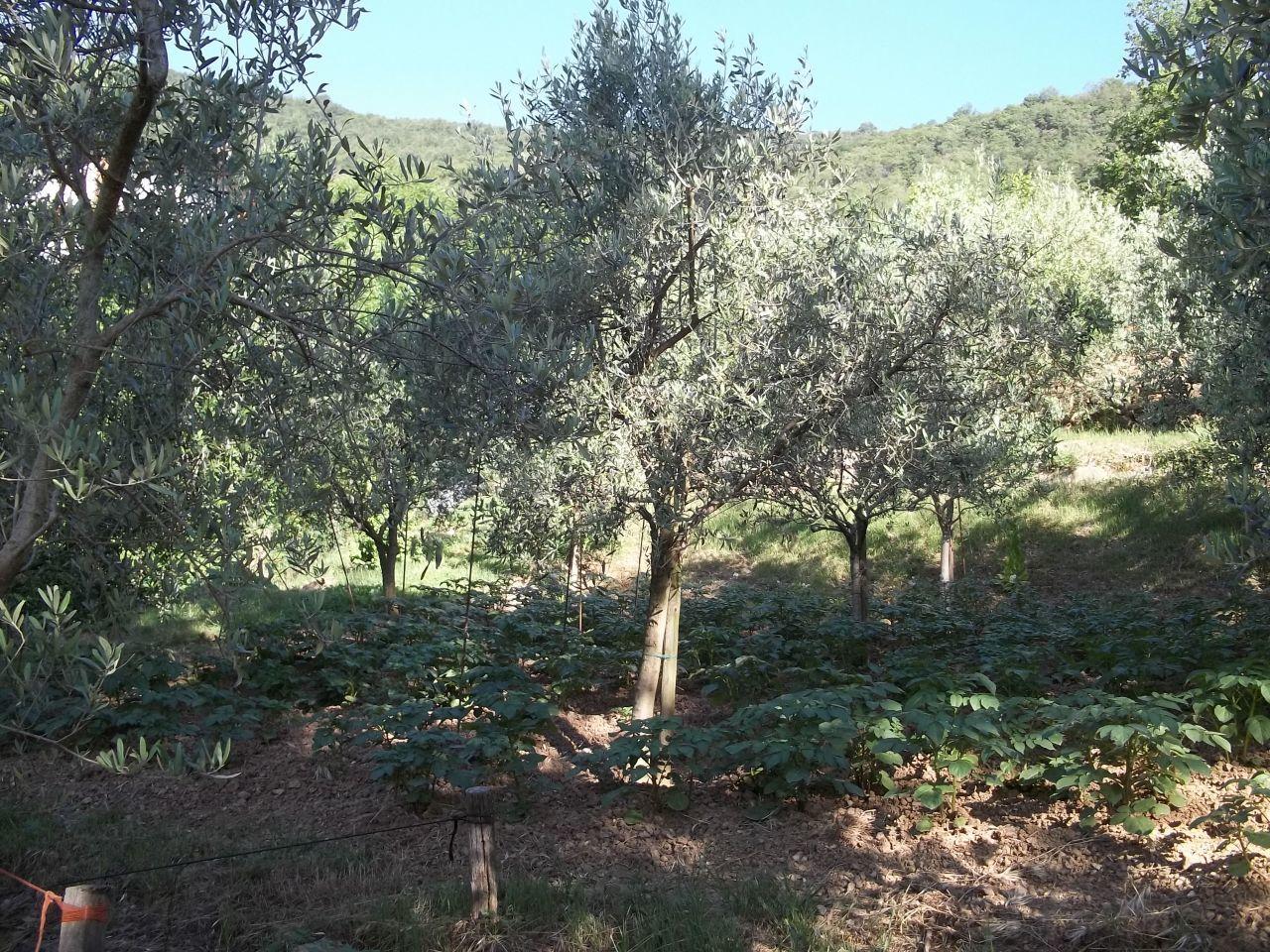 Agricolo - Uliveto a Corte Franca