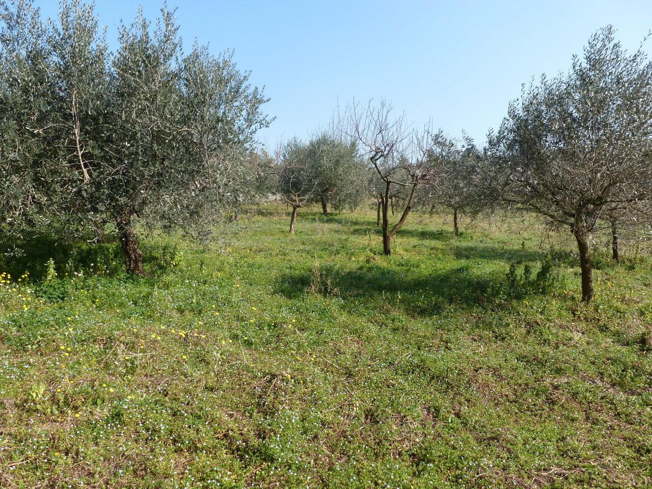 Agricolo - Uliveto a Frascati Rif. 11365526
