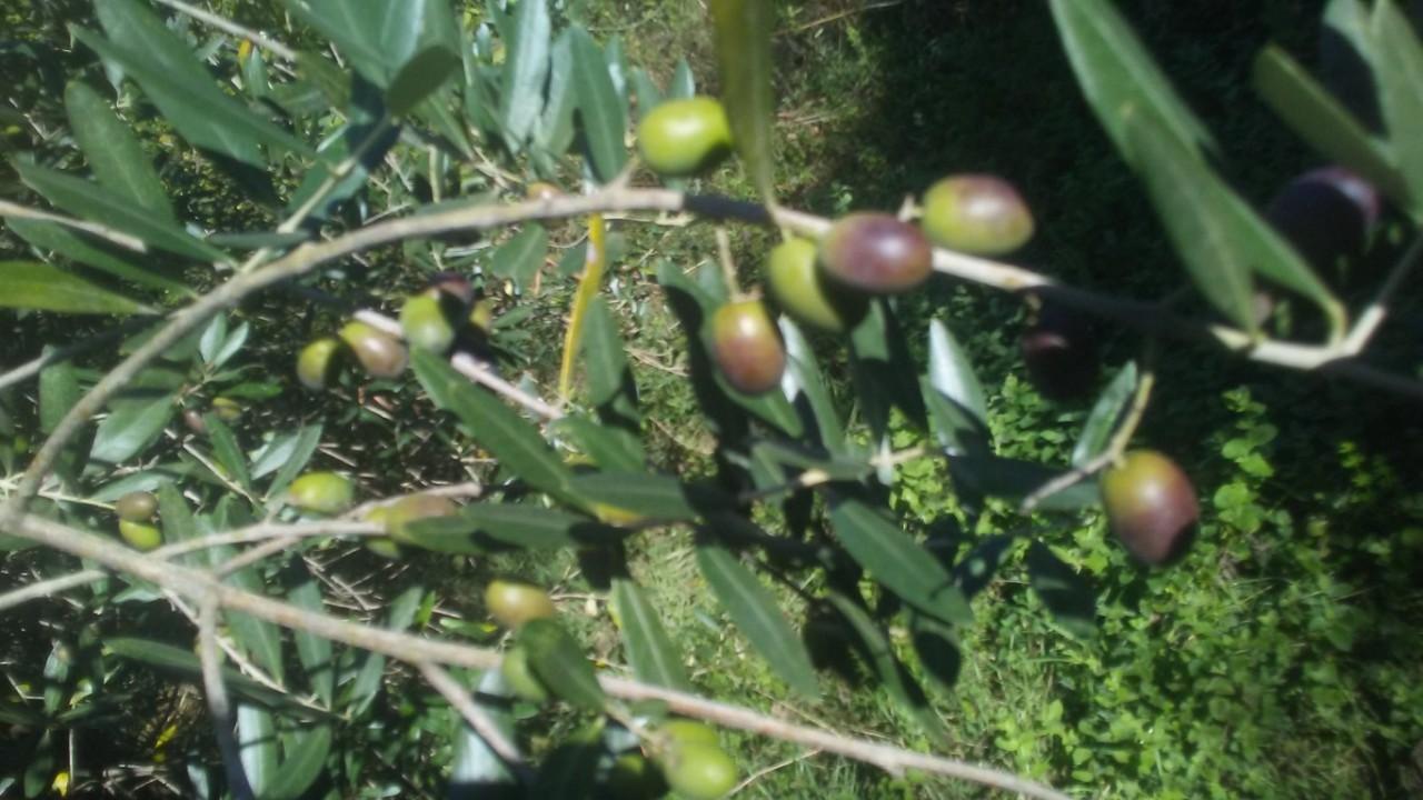 Agricolo - Uliveto a Aulla Rif. 8131955
