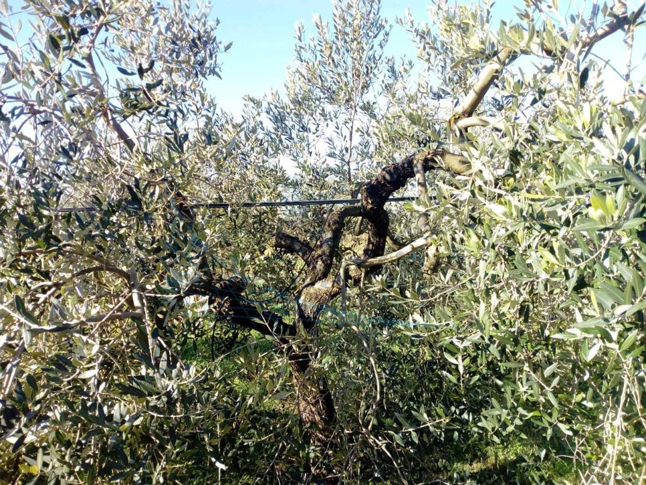 Agricolo - Uliveto a Cecina Rif. 9925443