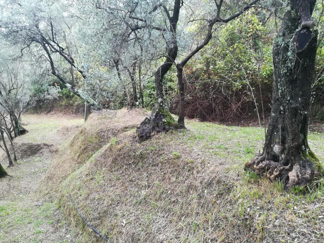 Agricolo - Uliveto a Vallecchia, Castelnuovo Magra
